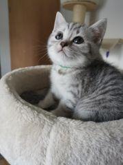 BKH Britisch Kurzhaar Kitten Babies