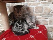 Bkh Kitten mit Stammbaum Whiskas