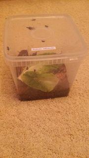 Wir geben Ischnoptera spec Costa