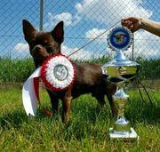 Sehr schöner Typvoller Chihuahua Rüde