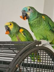 Amazon papageien