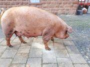 Duroc Altsau - Schwein zu verkaufen