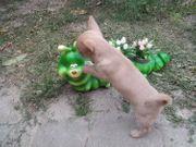 Chihuahua in tollen Farben