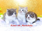 Excellente BKH und Scottish Fold