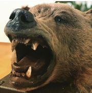 grizzly Bär Präparat trophäe Kopf
