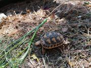 testudo graeca nabeulensis tunesische landschildkröte