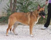 ESMERALDA - Schäferhund-Malinois-Mix sucht ihre Menschen