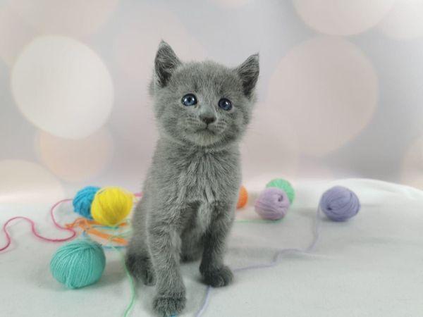 Reinrassige Russisch Blau Kitten Mit Stammbaum In Koln Katzen Kaufen Und Verkaufen Uber Private Kleinanzeigen