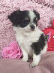 Mini Chihuahua mit Stupsnase