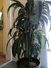 Drachenbaum mit neuem Keramikübertopf
