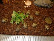 Griechische Landschildkröten mit EU- Bescheinigung