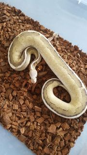 0 1 Blackpastel Vanilla Cream