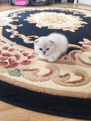 Skottish Fold Kitten