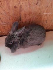 Kaninchen - Mischling