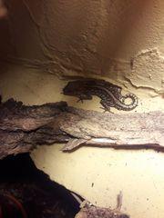 Verkaufe Madagaskar Grosskopfgeckos Paroedura picta