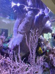 Weichkoralle Lederkoralle Koralle