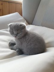 BKH-Scottish Fold MIX KITTEN