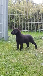 Labrador Schäferhund Mix Welpen 9