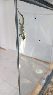 taggecko tag Gecko baby