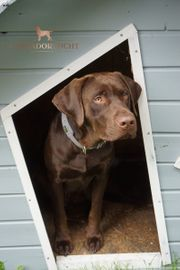 Labrador Deckrüde in Braun