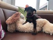 Manchester Terrier welpen mit Ahnentafel