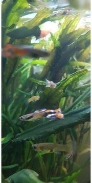 Guppys Aquariumfische Endler