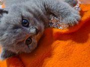 BKH-Kitten Reinrassig