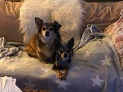 Tierschutz Chihuahua Pärchen ca 8