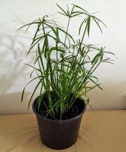 Zimmerpflanze Zyperngras Zimmerfarn