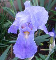 3 Fächer unserer duftend hellblau-lavendelfarbenen