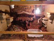 Terrarium mit 3 Kornnattern