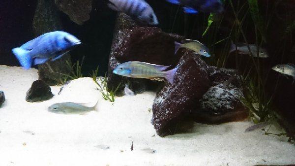 Zuchtgruppe Malawis / Lethrinops » Fische, Aquaristik