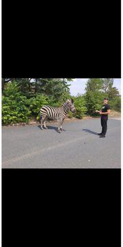Zebra Wallach