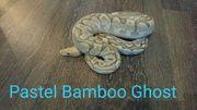 königspython pastel bamboo Ghost 1