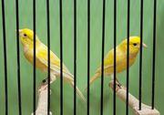 Kanarienvögel - Rheinländer