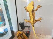 Kronengecko Weibchen