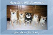 Shiba Inu Welpen vom Züchter