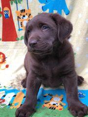 Labrador Welpe Schoco
