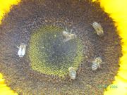 Bienenfreundliche RIESEN-SONNENBLUME King Kong 10