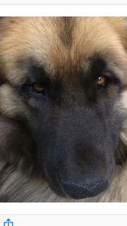 Leonberger Bärenhundmix Welpen