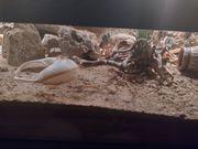 Biete DNZ Tropiocolotes Steudneri Zwergwüstemgecko