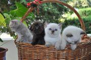 BKH-Scotisch Fold Kitten