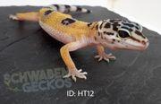 Leopardgeckos verschiedene Farbformen