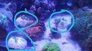 Kaktus Korallen ableger