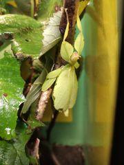 Philippinisches Wandelndes Blatt Phyllium philippinicum