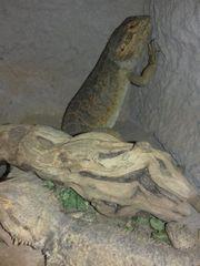 bartagamen mit terrarium