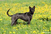 Thai Ridgeback Dog -