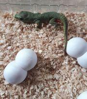 Gecko Madagaskar Taggecko Jungtiere