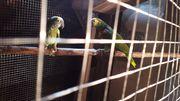 Mehrere Zuchtpaare Papageien