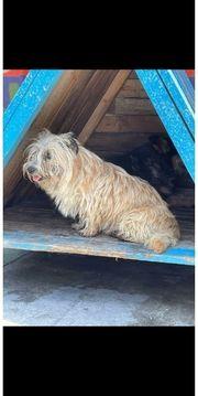 Kethy - 4 jährige Sky - Terrier -